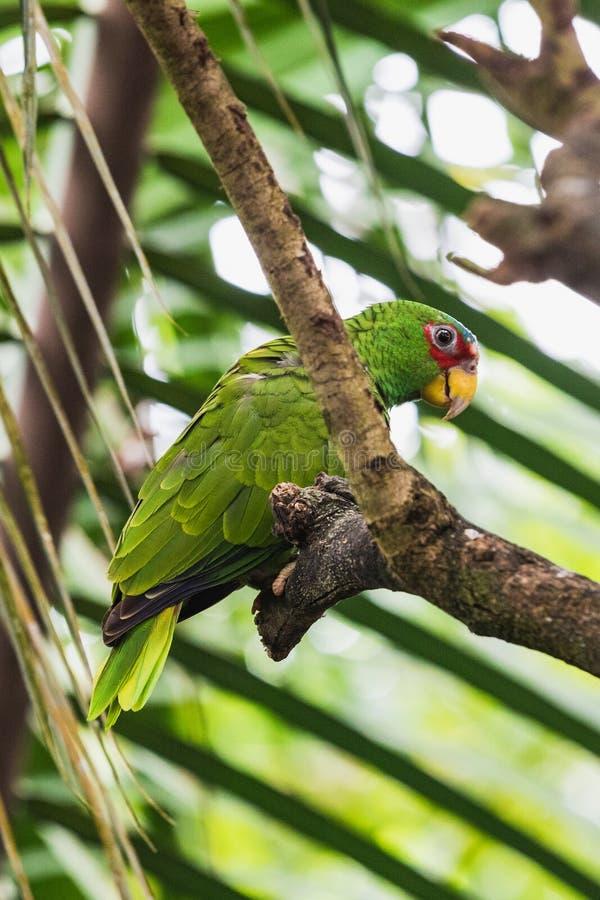 Zbliżenie portret jasnozielona papuga na drzewie fotografia stock