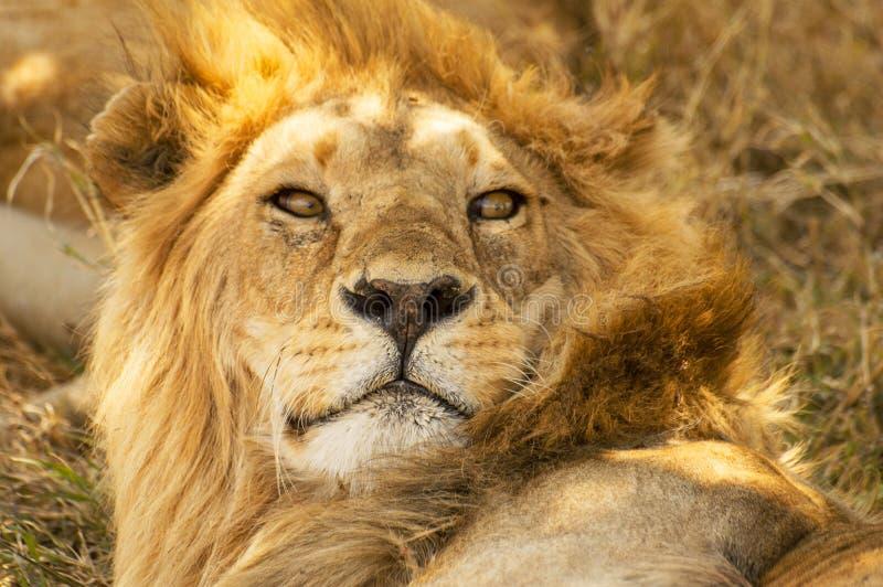 Zbliżenie portret męski Afrykański lwa Panthera Leo, Serengeti park narodowy, Tanzania zdjęcie stock