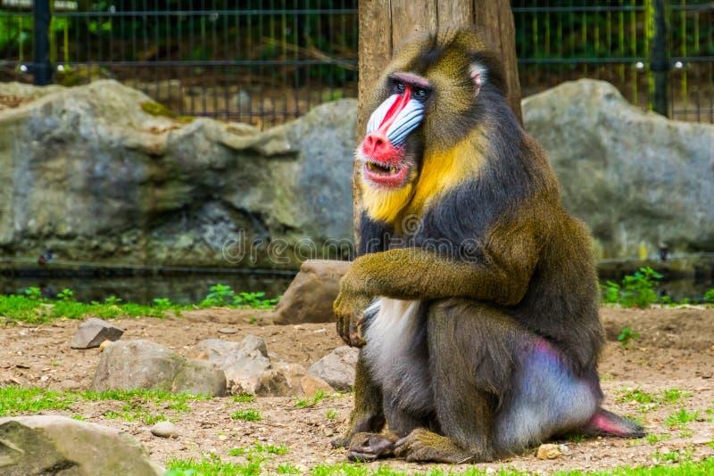 Zbliżenie portret mandryl małpy przedstawienie swój zęby, tropikalny prymas z kolorową twarzą, Podatny zwierzęcy specie od zdjęcie royalty free