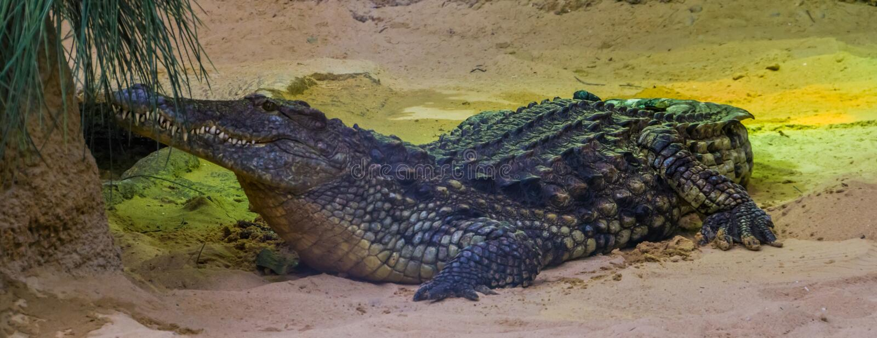 Zbliżenie portret Nile krokodyl, tropikalny gada specie od pustyni Afryka obrazy royalty free