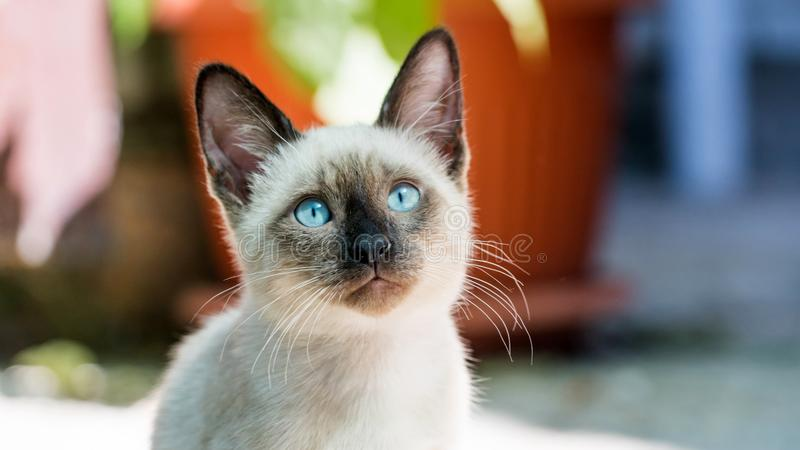 Zbliżenie Portret Siamese Kitten patrzącego przy drzwiach zamkniętych, Sochi obrazy royalty free