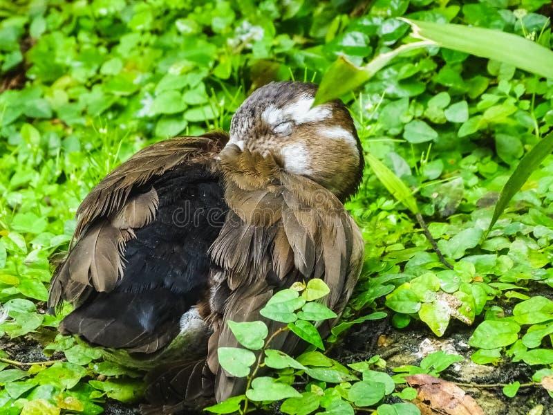 Zbliżenie portret sypialny brąz kropkował kaczki obrazy stock