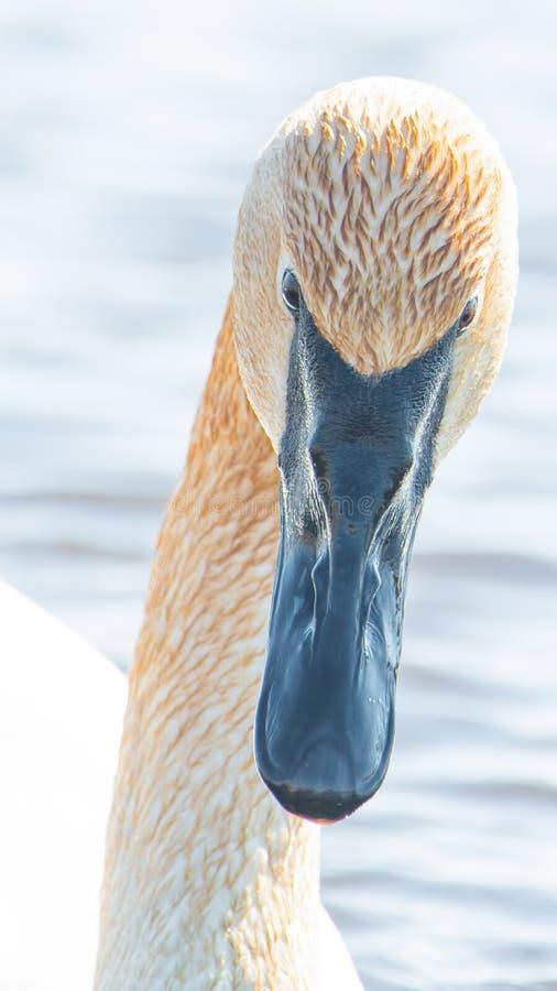 Zbliżenie portret trąbkarza łabędź głowa z szczegółem piękny upierzenie, oko i belfer brać, - w wczesnej wiośnie podczas migracji obraz stock