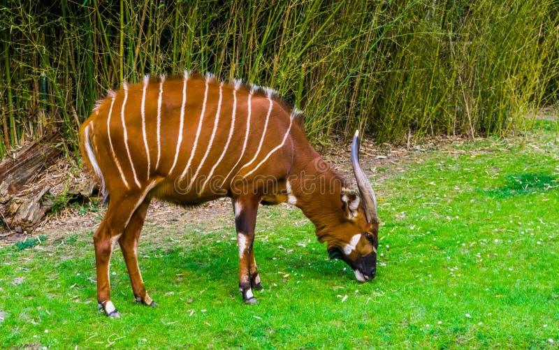 Zbli?enie portret wschodni halny bongo pasanie w trawa pa?niku, krytycznie zagra?aj?cy zwierz?cy specie od Afryka zdjęcie royalty free
