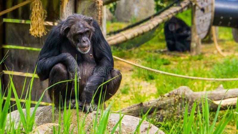 Zbliżenie portret zachodni szympans, krytycznie zagrażający prymasu specie od Afryka zdjęcie royalty free