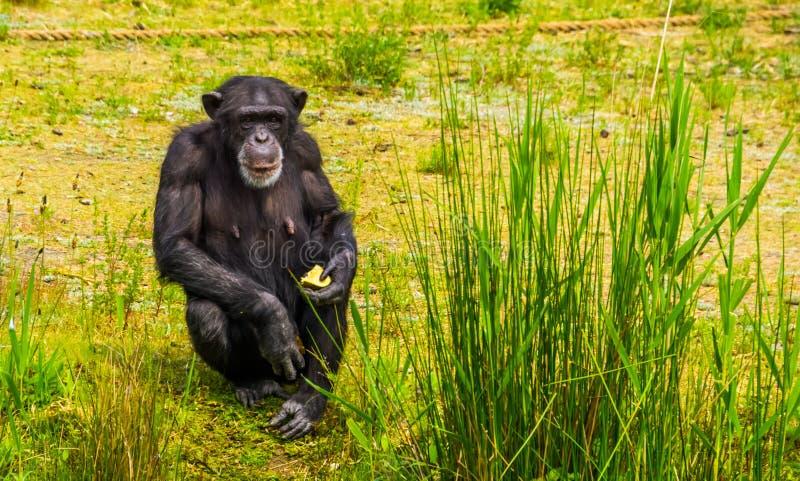 Zbliżenie portret zachodni szympans trzyma niektóre jedzenie, zoo zwierzęcy karmienie, krytycznie zagrażał prymasu specie od Afry obrazy stock