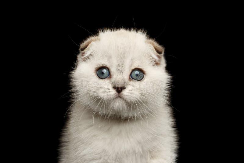 Zbliżenie portreta fałdu Śliczna Biała Szkocka figlarka z niebieskimi oczami zdjęcia stock