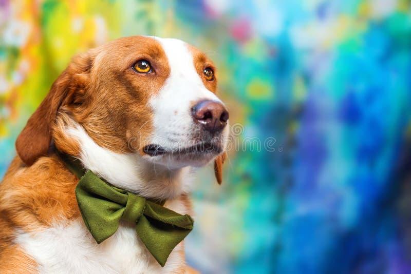Zbliżenie poważny patrzeje mieszający trakenu pies obrazy stock