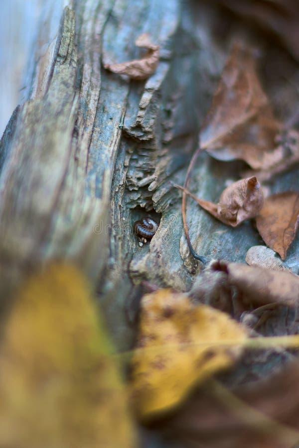 Zbliżenie przekręcał centipede na beli wśród spadek jesieni liści zdjęcie stock