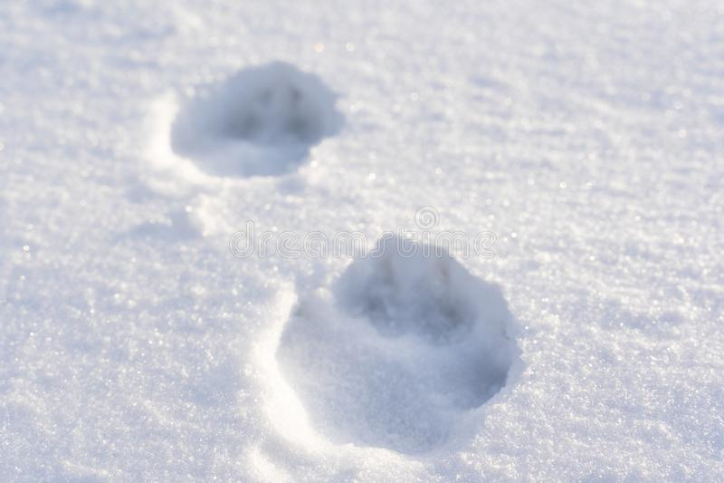 Zbliżenie Psi łapa druki w śniegu na Pogodnym zima dniu fotografia royalty free