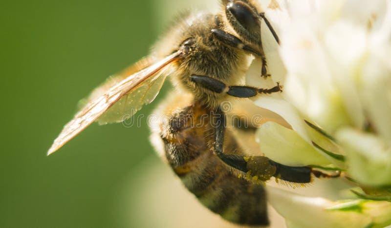 Zbliżenie pszczoła przy pracą na białej koniczyny kwiatu pollen A cztery zbierackich liściach koniczynowych zdjęcia stock