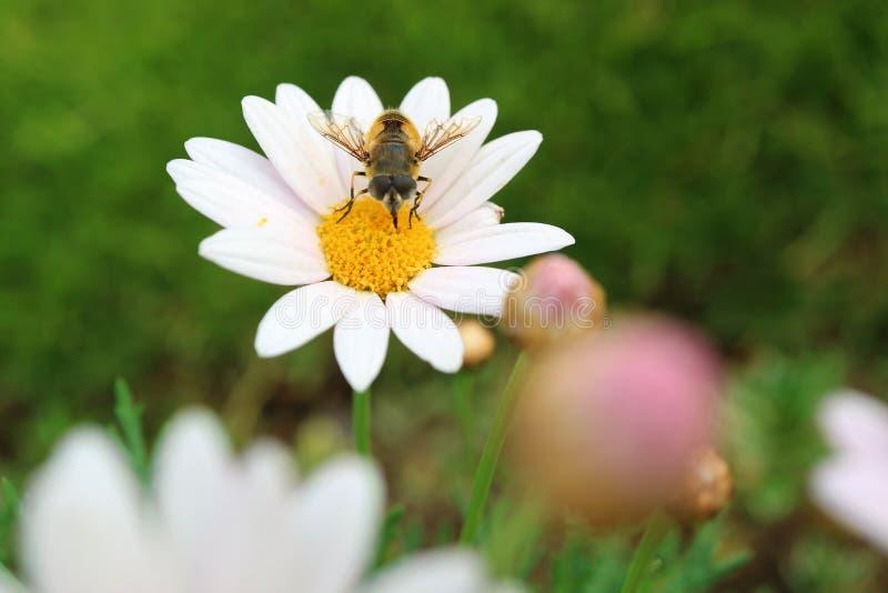 Zbliżenie pszczoła Zbieracki nektar na Żółtym Pollen Białej stokrotki kwiat zdjęcia stock
