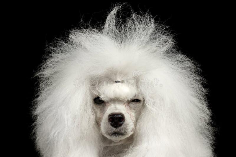 Zbliżenie pudla Kostrzewiasty pies Mruży Patrzeć w kamerze, Odosobniony czerń zdjęcia stock