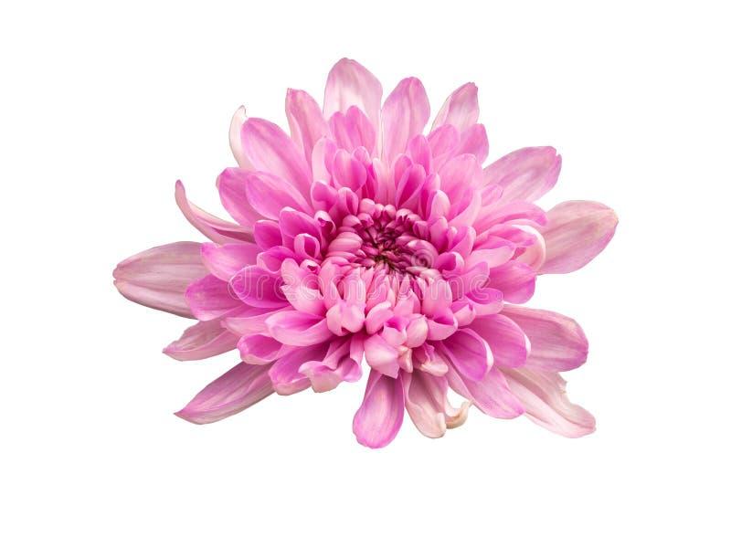 Zbliżenie purpurowi kwiaty Chryzantema zdjęcie stock