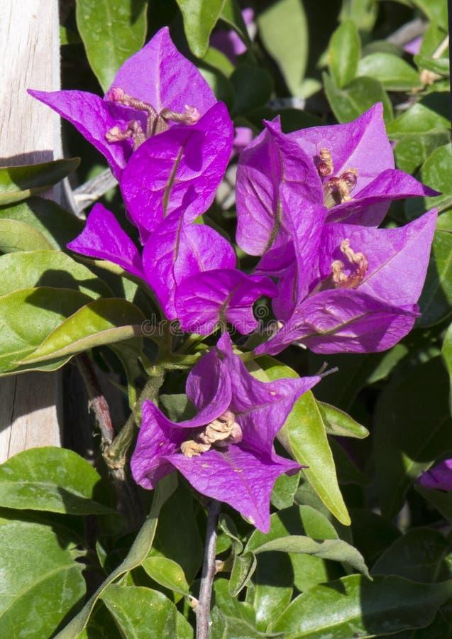 Zbliżenie purpurowy Bougainvilla w jaskrawym świetle słonecznym obraz royalty free