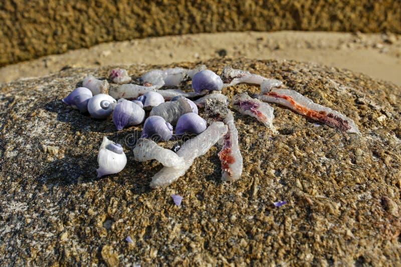 Zbliżenie purpurowy dennych ślimaczków Janthina janthina zdjęcie royalty free