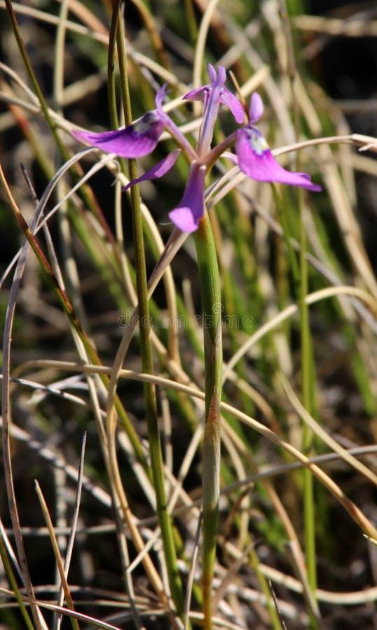 Zbliżenie purpurowy dziki irysowy kwiat z zielonym ulistnieniem w tle zdjęcia royalty free