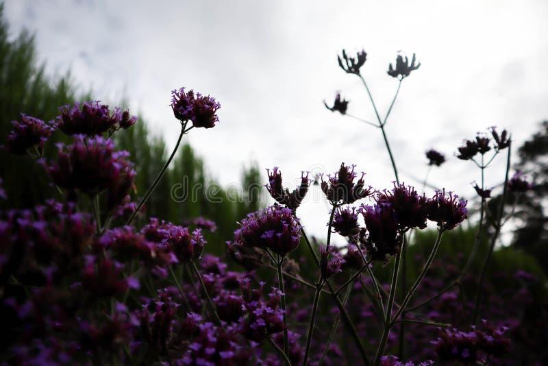 Zbliżenie purpurowy lawendowy kwiat z zamazanym obrazy stock