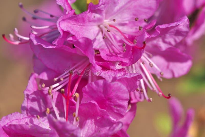 Zbliżenie różaneczników różowy kwiat zdjęcie stock