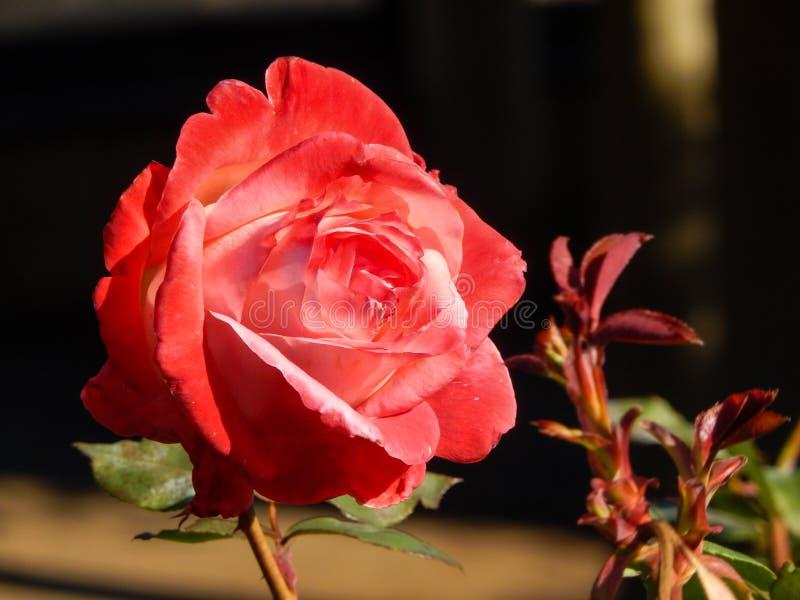 zbliżenie różową różę zdjęcie stock