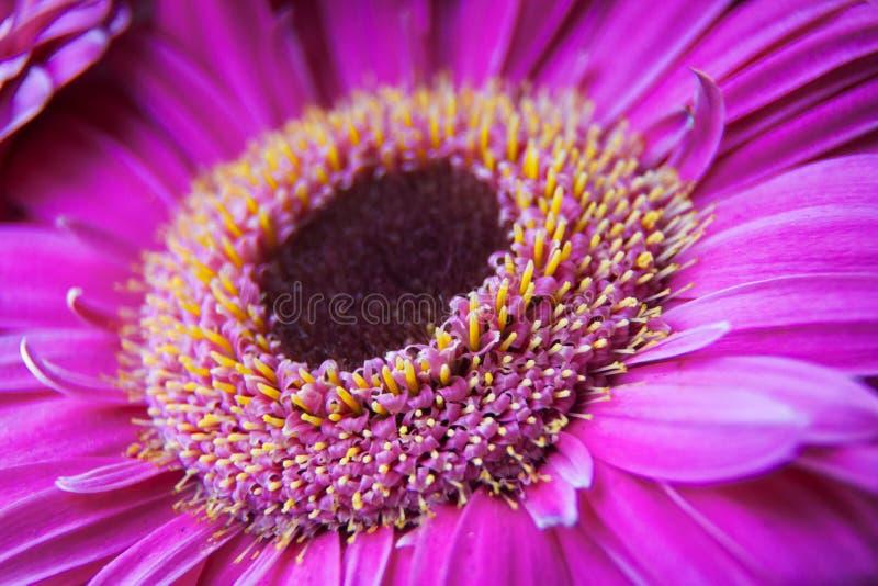 Zbliżenie różowa gerber stokrotka obraz stock