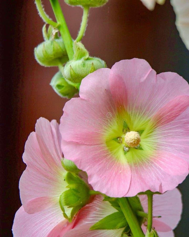 Zbliżenie różowi Hollyhock kwiaty zdjęcia royalty free