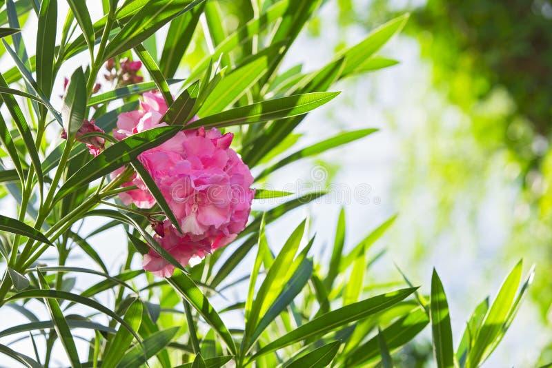 Zbliżenie różowy oleander lub Nerium oleander kwitnie na drzewie Zamyka w górę miękkich części menchii słodkiego oleandrowego kwi fotografia royalty free