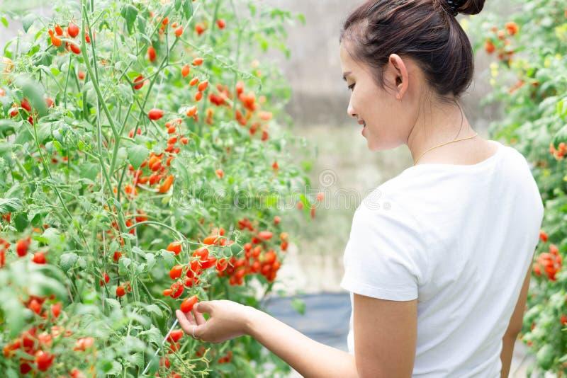 Zbliżenie ręki mienia pomidory na gałąź w warzywa gospodarstwie rolnym z uśmiech twarzą i szczęśliwym uczuciem dla zdrowego karmo zdjęcia royalty free