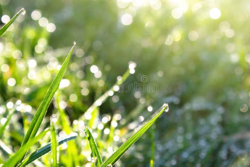 Zbliżenie ranek rosa przy wschód słońca na liściach młoda zielona trawa, bokeh skutek obrazy stock