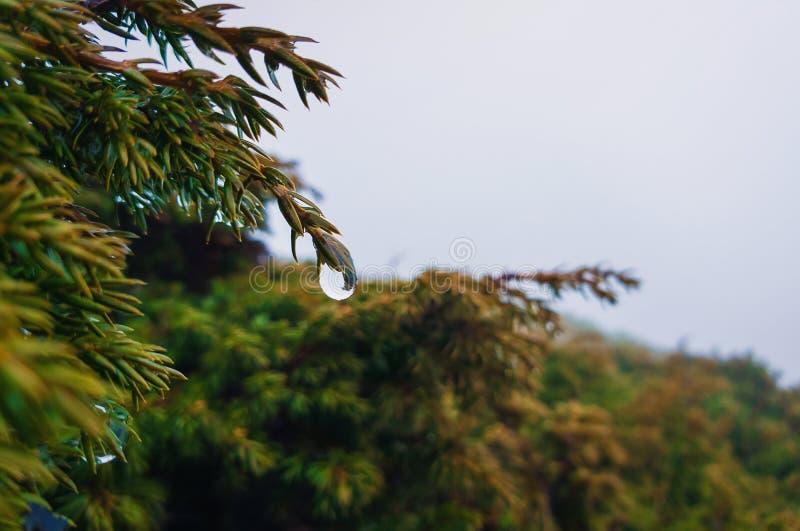 Zbliżenie rosa krople wiesza na iglastej krzak gałąź Dżdżysty wiosna dzień w wiecznozielonym lesie, zimny mglisty tło zdjęcie royalty free