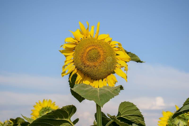 Zbliżenie samotny żółty słonecznik przeciw niebieskiemu niebu Rolniczy tło Helianthus annuus flancowanie w wsi zdjęcia stock