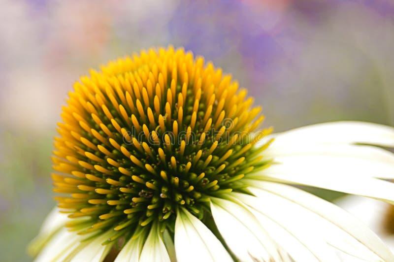 Zbliżenie stokrotka kwiat obraz stock