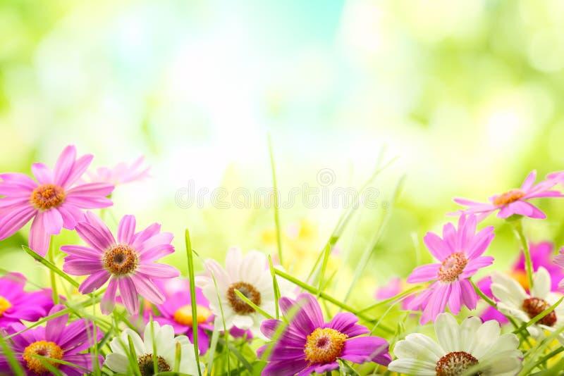 Zbliżenie stokrotka kwiat fotografia stock