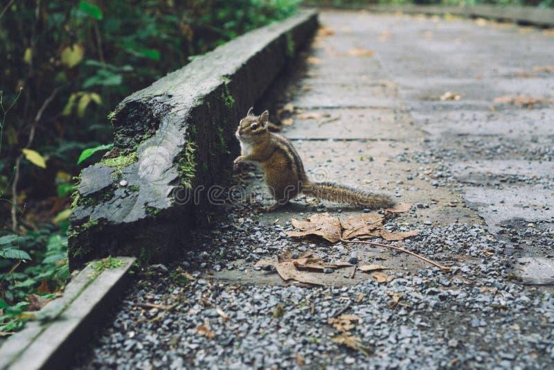 Zbliżenie strzał śliczna piękna wiewiórcza pozycja na skałach blisko lasu obraz stock