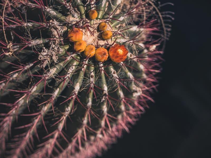 Zbliżenie strzał kaktus z pomarańcze i kolorem żółtym pączkuje zdjęcia royalty free