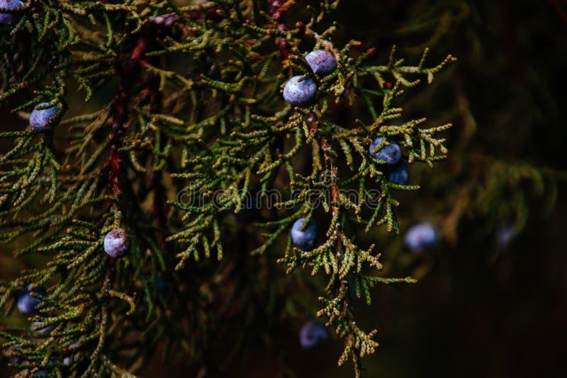 Zbliżenie strzał piękne czernicy na gałąź drzewo zdjęcie stock