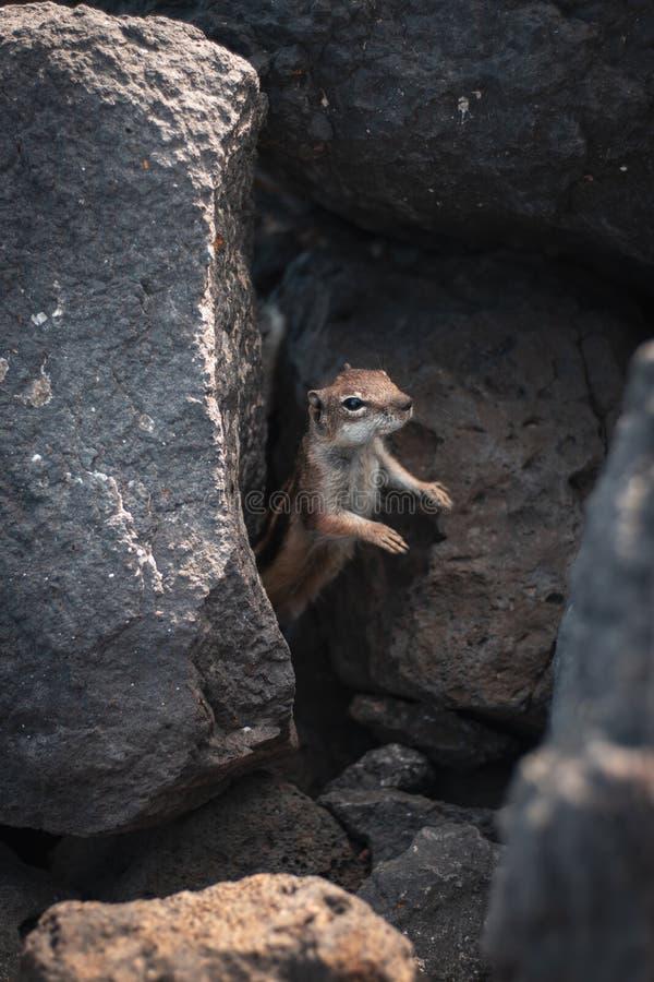 Zbliżenie strzał piękny dziki wiewiórki wtykać swój przewodzi za skałach w lesie fotografia royalty free