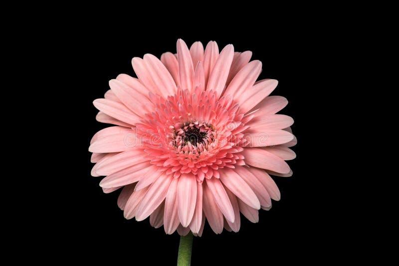Zbliżenie strzelający używać ostrości sztaplowanie różowa chryzantema fotografia royalty free