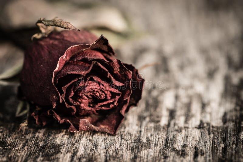 Zbliżenie susząca czerwieni róża, nieżywa czerwieni róża na drewnianym tle zdjęcie stock