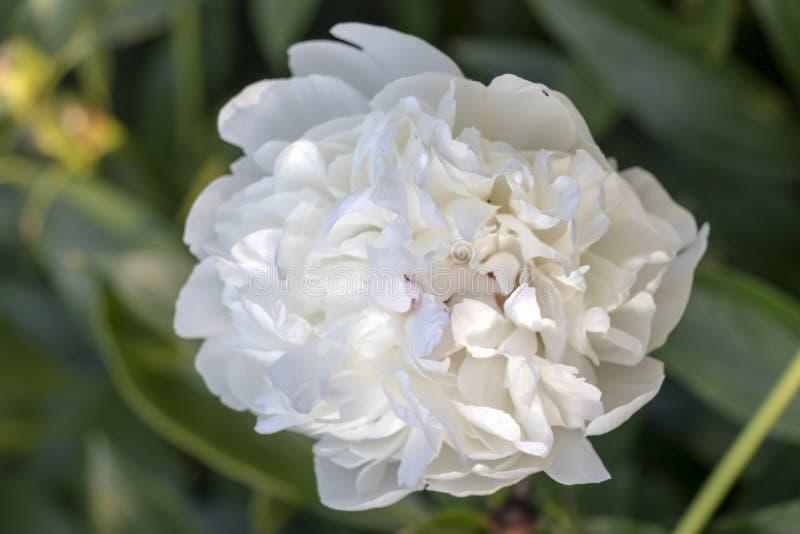 Zbliżenie szczegół biały Paeony kwiat z zielenią opuszcza tło fotografia royalty free