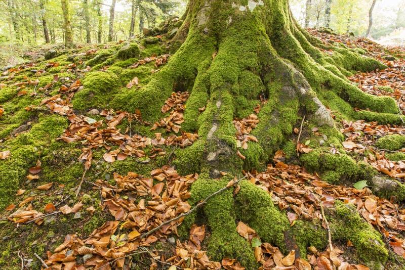 Zbliżenie szczegół muczenia i drzewo zakorzenia w lesie zdjęcie royalty free