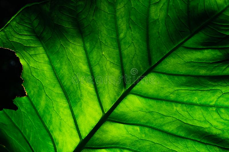Zbliżenie szczegół niezupełna zieleń opuszcza na ciemnym tle Zielony liść jedzący dżdżownicą, gąsienicą lub insektem, Liść z ziel obraz royalty free