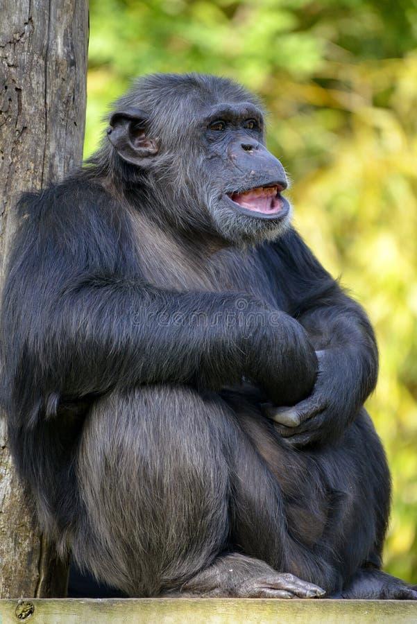 Zbliżenie szympansa obsiadanie obrazy stock