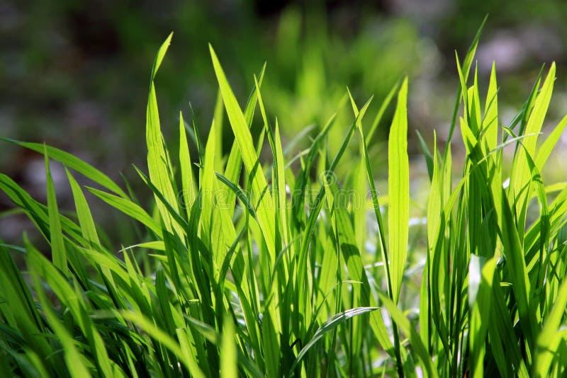 zbliżenie trawa zieleni obraz royalty free