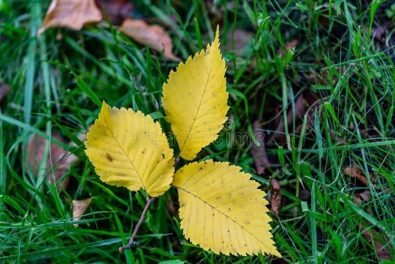 Zbliżenie Trzy kolor żółty osiki Zwyczajnego liścia Odizolowywającego na Zielonej trawy tle, Abstrakcjonistyczny tło obraz royalty free