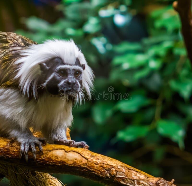 Zbliżenie twarz bawełniana odgórna długouszki małpa, krytycznie zagrażający zwierzęcy specie, tropikalni prymasy obrazy royalty free