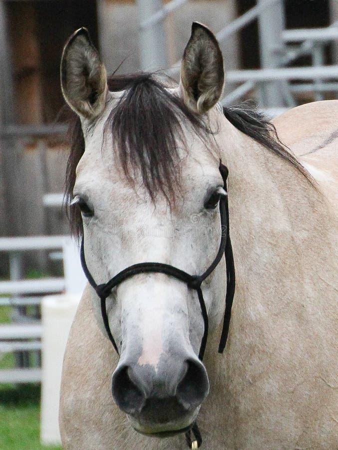 Zbliżenie twarz biel, buckskin colour koń fotografia royalty free