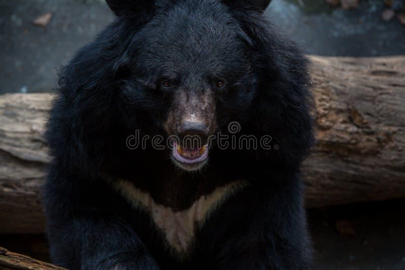 Zbliżenie twarz dorosły Formosa Czarny niedźwiedź w lesie przy dnia gorącym latem obrazy royalty free