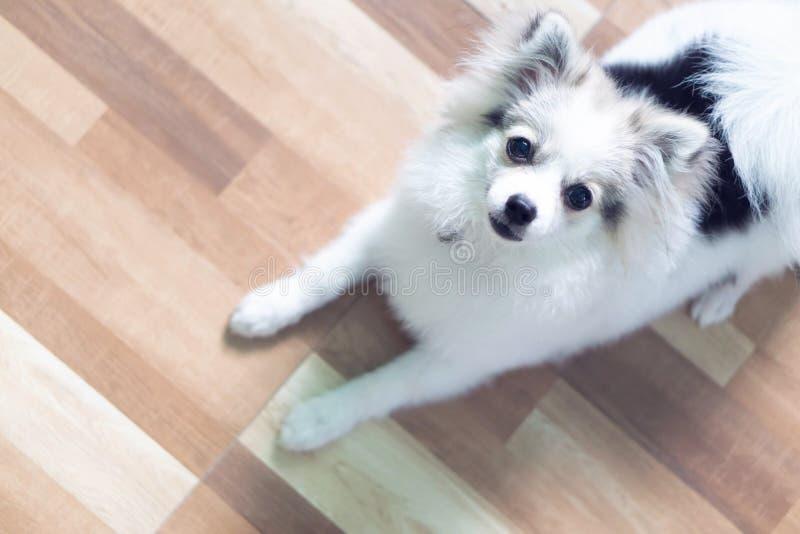 Zbliżenie twarz szczeniaka pomeranian patrzeje kamera, psi zdrowy zdjęcia royalty free