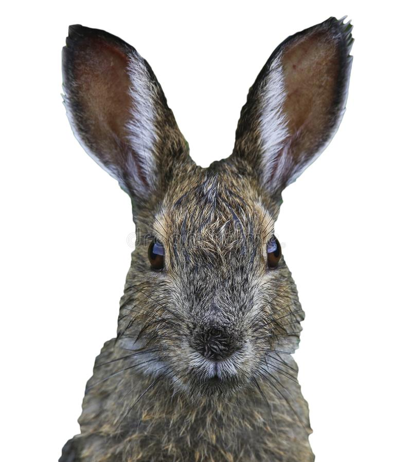 Zbliżenie twarz zając, śmieszna Easter królika głowa odizolowywająca na białym tle obraz royalty free